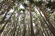 Spain, Bor, tall pine forest seen from below - VABF000204