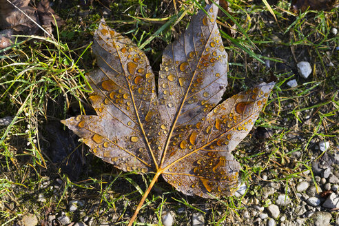 Maple leaf with dew drops - SIEF006968