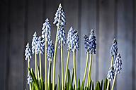 Blossoming grape hyacinths - CSF027198