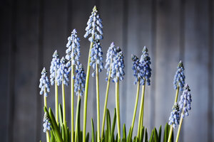 Blossoming grape hyacinths - CSF027198
