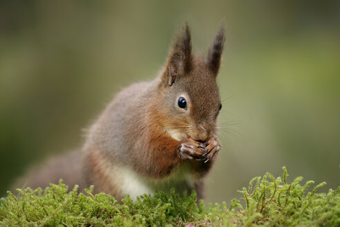 Portrait of Eurasian red squirrel - MJOF001141