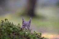 Peeking Eurasian red squirrel - MJOF001144