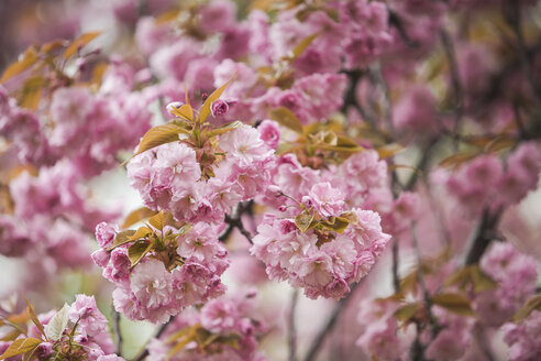 Blossoming almond tree, close-up - ASCF000514