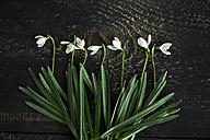 Row of snowdrops on dark wood - MAEF011358