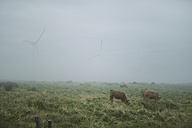 Spain, cows grazing on a meadow on a foggy day - RAEF000916