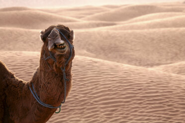 Dromedary eating in desert - DSGF001079