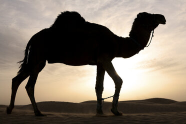 Tunisia, dromedary at dusk in the Sahara desert - DSGF001082