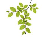 Branch of European Hornbeam, Carpinus betulus - RUEF001643