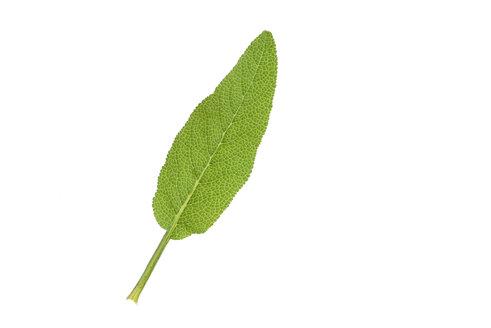 Sage, garden sage, Salvia officinalis, leaf, white background - RUEF001649