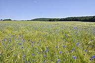 Germany, Bavaria, Franconia, Cornflower in wheat field - RUEF001652