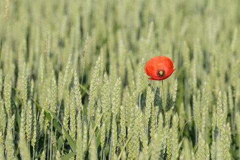 Common poppy, Papaver rhoeas, in wheat field - RUEF001655