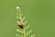 Seven spot ladybird, Coccinella septempunctata - RUEF001658