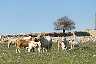 Italy, Sicily, Ragusa, sician cattles on meadow - CSTF000993