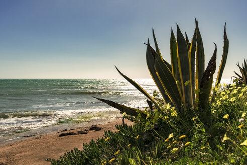 Italy, Sicily, Ragusa, Coast of Sampieri, agave and woodsorrel - CSTF001011