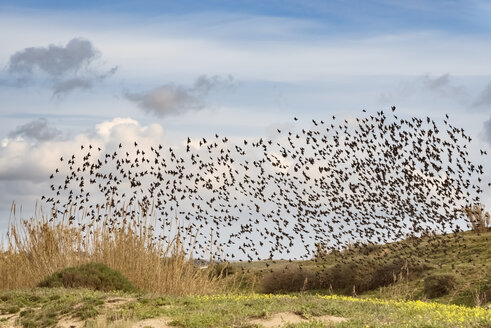 Sicily, flock of flying starlings - CSTF001023