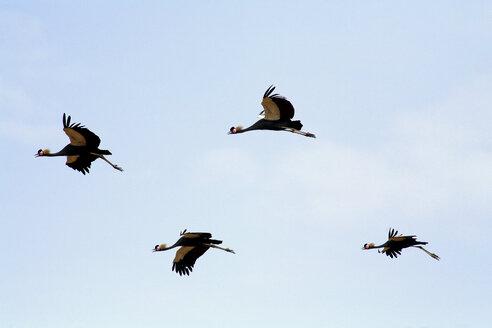 Grey crowned crane, Balearica pavonina, flying - DSGF001093