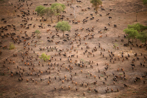 Chad, Zakouma National Park, Aerial view of herd of African buffalo, on the move - DSGF001096