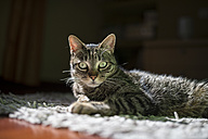 Portrait of starring cat lying on a carpet at home - RAEF000938