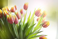 Bunch of tulips - MAEF011384