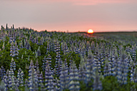 Iceland, Reykjanes, lupines at sunset - PAF001694