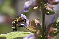 Foraging bee on a blossom - SABF000049
