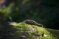 Toad, Bufonidae, on a mossy surface - BMA000159