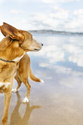 Mongrel on the beach - MGOF001603