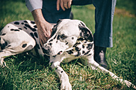 Senior man's hand stroking  Dalmatian dog - DAPF000050
