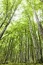 Birch forest - VABF000383