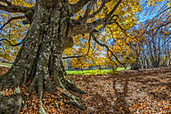Italy, Marche, tree in autumn - LOMF000254