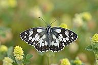 Marbled White, Melanargia galathea - RUEF001661