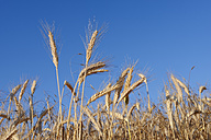 Rye field against clear blue sky, summer - RUEF001667