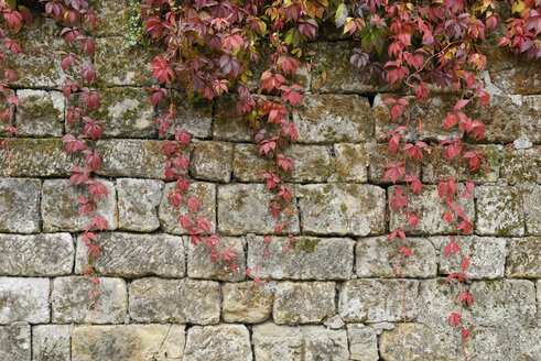 Japanese creeper, Parthenocissus tricuspidata, in autumn on stone wall - RUEF001697