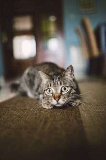 Portrait of starring cat crouching on carpet at home - RAEF000979