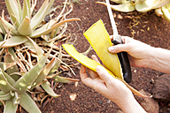 Close-up of woman holding aloe vera leaf - MFRF000521
