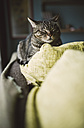 Portrait of tabby cat relaxing on backrest of couch - RAEF000982