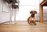 Portrait of Rhodesian Ridgeback lying on wooden floor at home - MFRF000578