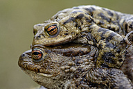 Two common toads mating - MJOF001157