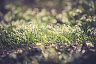 Snowdrops, close-up - ASCF000564