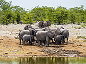 Herd of elephants, Loxodonta africana, bull elephants and young animals on waterhole - AMF004832
