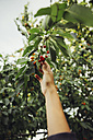 Woman harvesting cherries - AIF000322