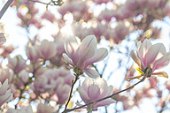 Blossoms of magnolia tree - SARF002689