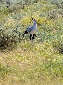 Namibia, Kori Bustard, Ardeotis kori, in Etosha National Park - AMF004843