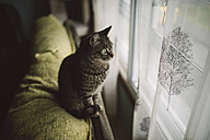 Tabby cat sitting on backrest of the couch looking through window - RAEF001077
