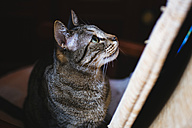 Tabby cat looking up - KIJF000313