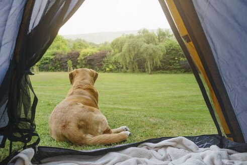 Labrador Retriever lying in front of tent - ECF001872