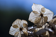 Hydrangea, close-up - JUNF000491