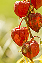 Chinese lantern in autumn, close-up - JUNF000495