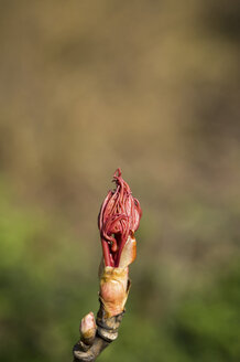 Red blossom bud in spring, copy space - JUNF000499