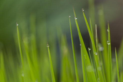 Grasses with water drops, close-up - JUNF000505